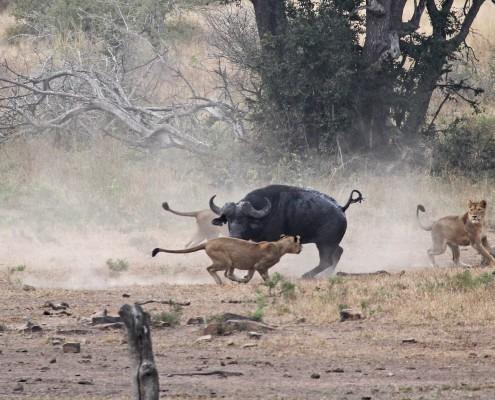 Lion-Buffalo1